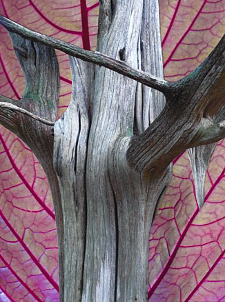 Trunk of a dead, weathered tree in front of a leaf with pink veins